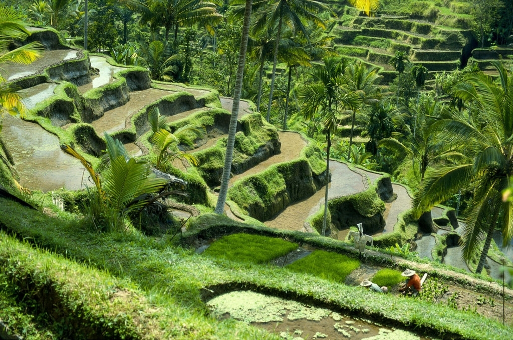 Tegalalang Rice Terraces in Bali is popular tourist attraction in Bali
